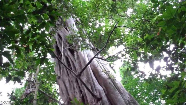 """أطول شجرة"""" تنجو من حرائق الأمازون"""