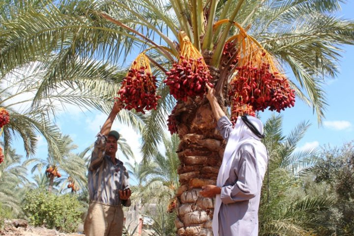 وزير الزراعة يفتتح موسم قطف التمور في أريحا