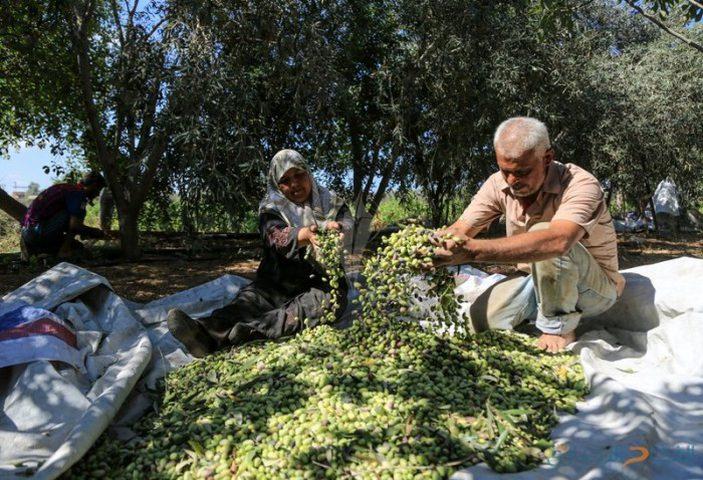 الزراعة: موسم الزيتون القادم سيكون الأفضل منذ أعوام