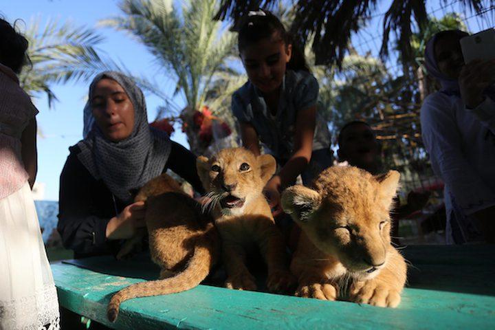 غزة: 3 أشبال في حديقة حيوان برفح تثير اهتمام روادها