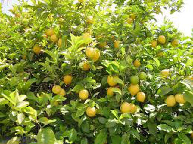 فوائد كبيرة لليمون تعرفوا عليها