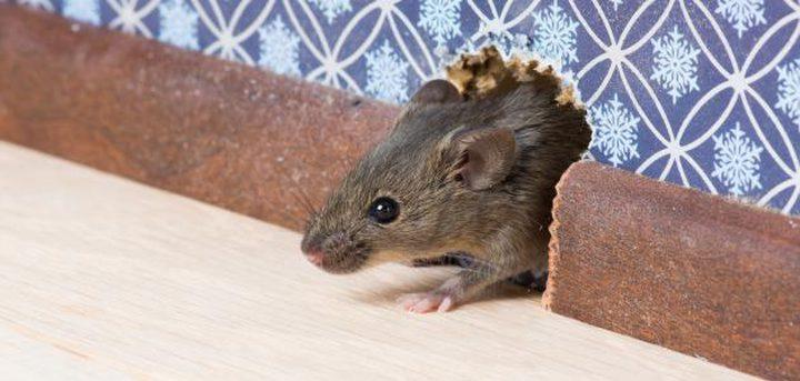 دراسة علمية: الفئران تستمتع بلعبة الغميضة مع البشر