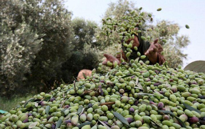 حملة لقطف الزيتون في المناطق المهددة بالمصادرة