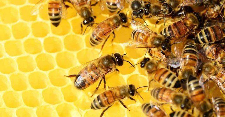 قريبا.. تدريب النحل ليحل محل الكلاب البوليسية