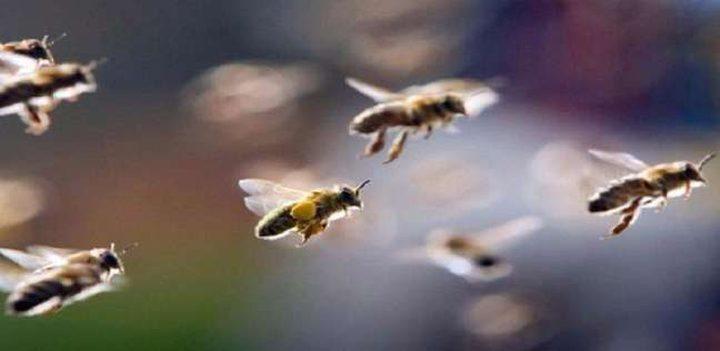 سرب من النحل يتسبب في تأخير إقلاع طائرة هندية