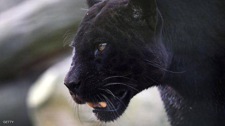 """نمر أسود  يصتاد """"لص"""""""