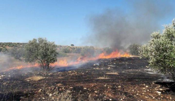 احتراق مئات اشجار الزيتون واللوزيات في محافظة جنين