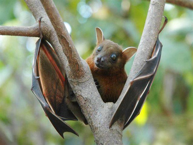 وسط الجفاف المستمر.. الجوع يفتك بخفافيش أستراليا