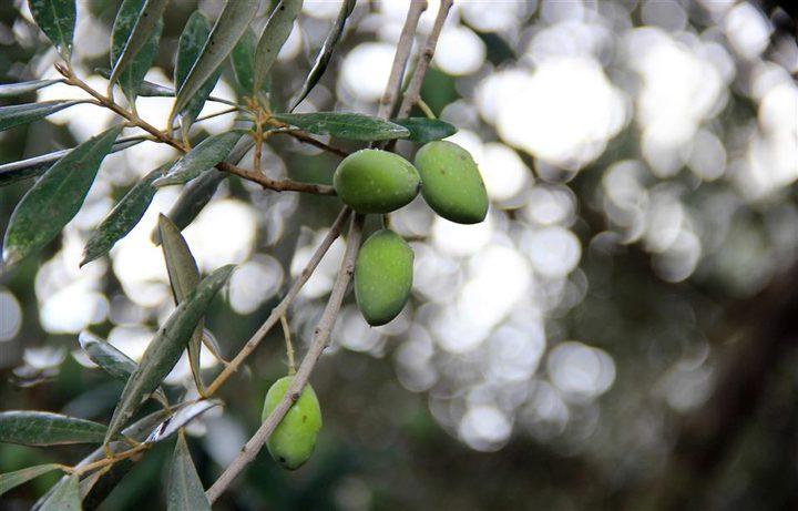 دعوات لحماية موسم الزيتون والتصدي للاحتلال والمستوطنين