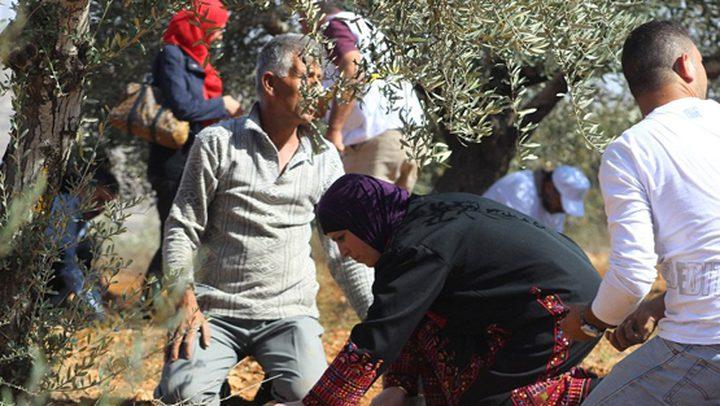 الاحتلال يمنع المزارعين من قطف ثمار الزيتون شرق قلقيلية