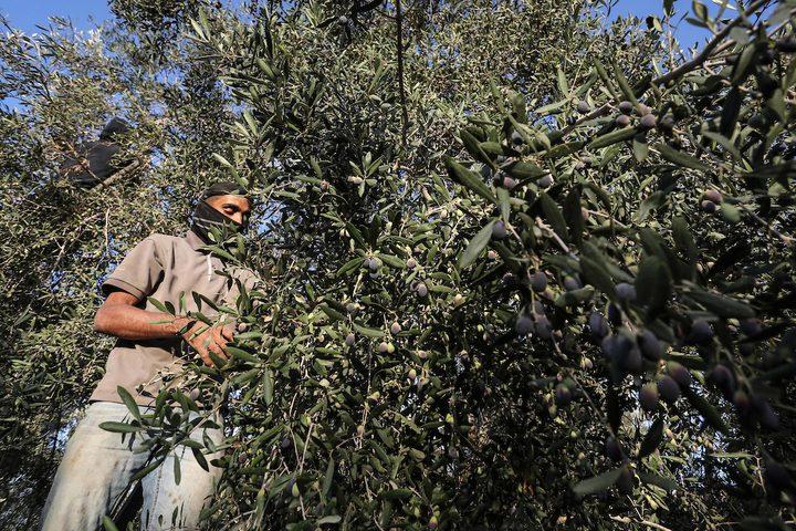 خلال موسم قطف الزيتون في دير البلح جنوب قطاع غزة.