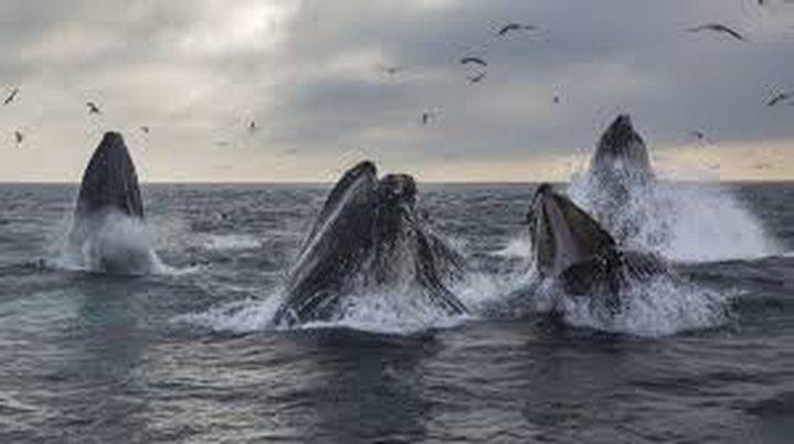 باحثون يكتشفون طريقة الحيتان السرية لحماية صغارها