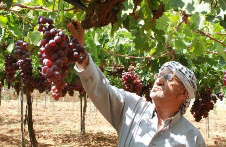70% من الأراضي المزروعة بالعنب بفلسطين موجودة في الخليل