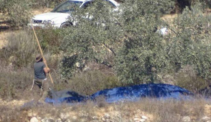 مستوطنون يسرقون ثمار زيتون جنوب نابلس