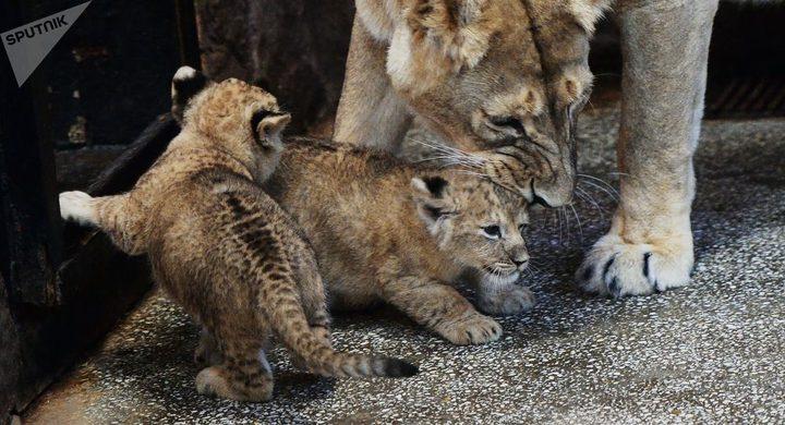 شبل أسد يلاعب أمه فيثير فزعها
