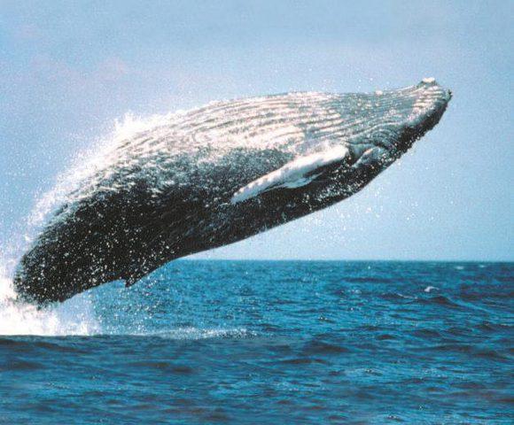 خبراء: الحيتان تنسج شبكة من الفقاقيع حول الفريسة قبل اصطيادها