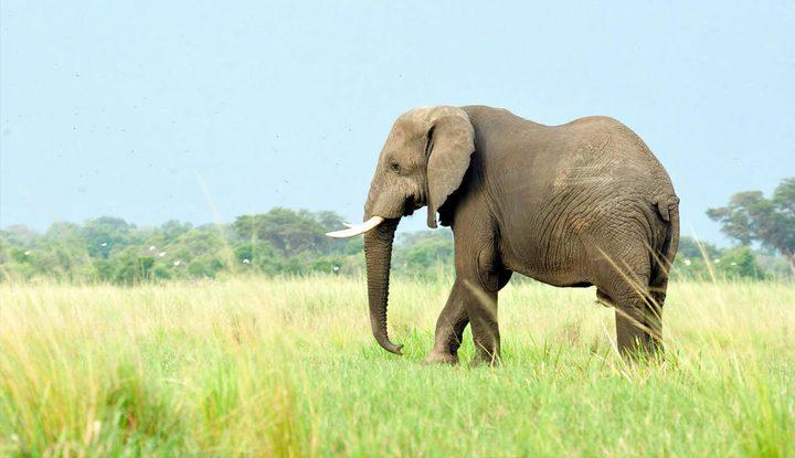 شاهد كيف انتقم فيل غاضب من جرار صدمه في الهند !