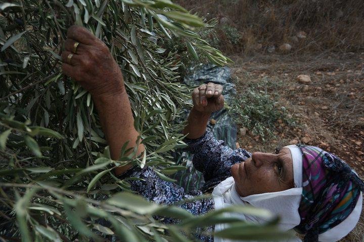 مواطنة فلسطينية تلتقط الزيتون خلال موسم الحصاد في مدينة جنين.