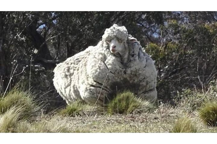 استراليا.. نفوق الخروف صاحب أغزر صوف في العالم
