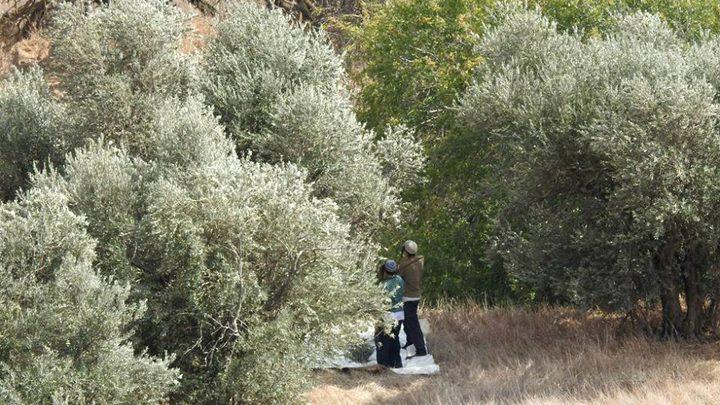 مستوطنون يسرقون ثمار الزيتون غرب نابلس