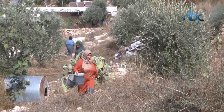 يوم تطوعي لقطف الزيتون في منطقة واد الحصين بالخليل