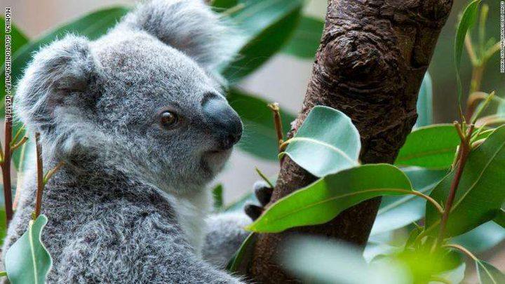 أستراليا.. الحرائق تهدد حياة المئات من حيوانات الكوالا