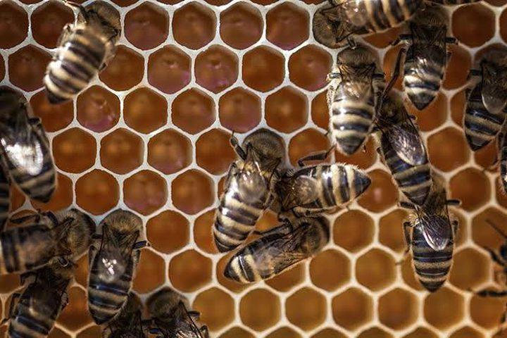 تدمير خلايا النحل في تشيلي بفعل الجفاف