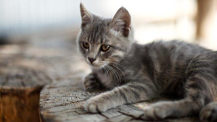 """عقوبة رادعة بحق ماليزي قتل قطة بـ""""طريقة وحشية"""" !"""