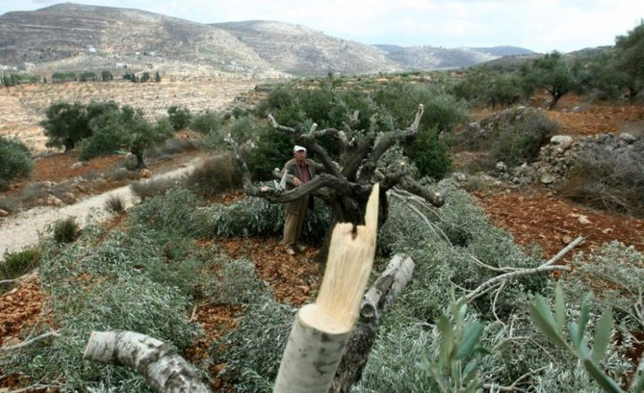 مستوطنون يقطعون نحو 60 شجرة زيتون جنوب نابلس