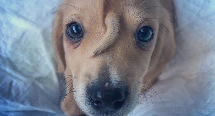 كلب ينمو ذيله على وجهه