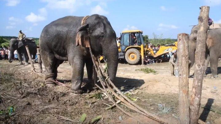 نفوق فيل بعد احتجازه
