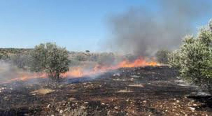 احتراق 500 شجرة زيتون بمحافظة جنين