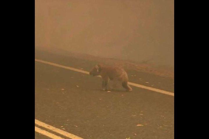 أستراليا.. سيدة تنقذ كوالا بعد خروجه من إحدى الغابات المحترقة