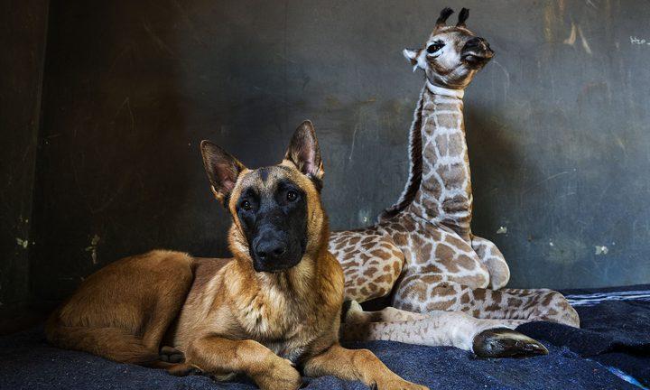تعرفوا على قصة الصداقة التي تجمع طفل زرافة بكلب ضخم