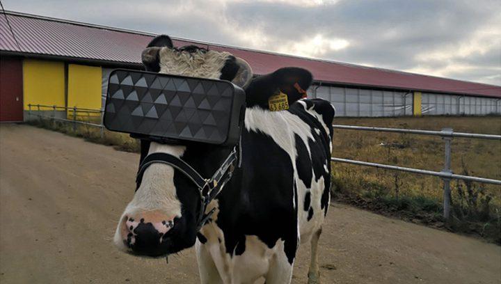 روسيا.. مزارعون يضعون نظارات الواقع الافتراضي على عيون أبقارهم!