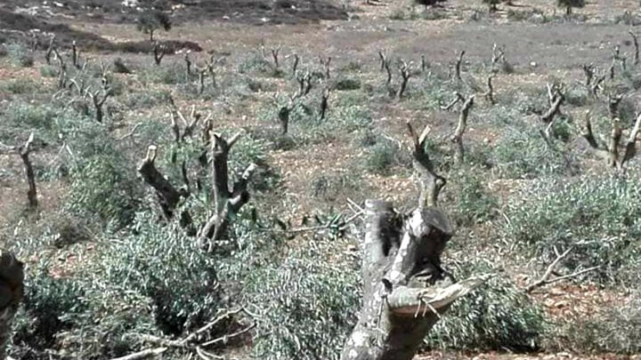 مستوطنون يقطعون 30 زيتونة في جنوب نابلس