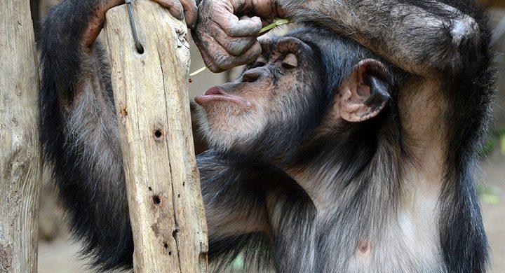 شمبانزي يبهر الجميع بفعل غريب