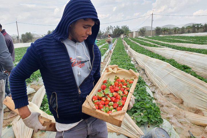 بدء موسم الفراولة في غزة
