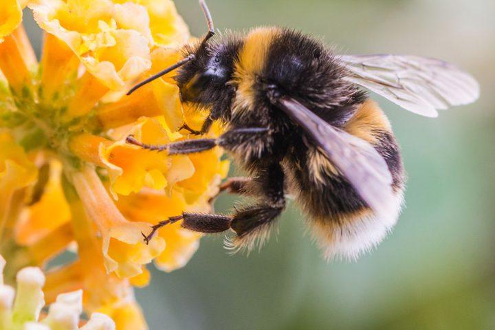 دراسة: النحل عامل أساسي في مكافحة ارتفاع ضغط الدم وأمراض اللثة