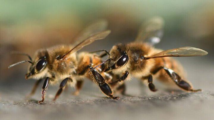 هل يساعد النحل على مكافحة ارتفاع ضغط الدم؟