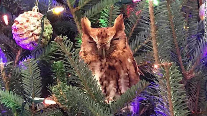 عائلة تعثر على بومة في شجرة عيد الميلاد