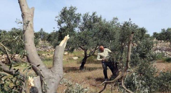 الاحتلال يقتلع أشجار زيتون في قرية الجبعة
