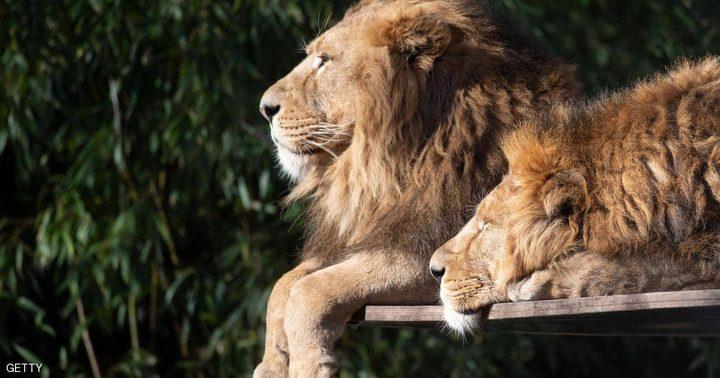 جنوب أفريقيا.. ذبح 16 أسدا ونزع وجوهها ومخالبها لغرض صادم !