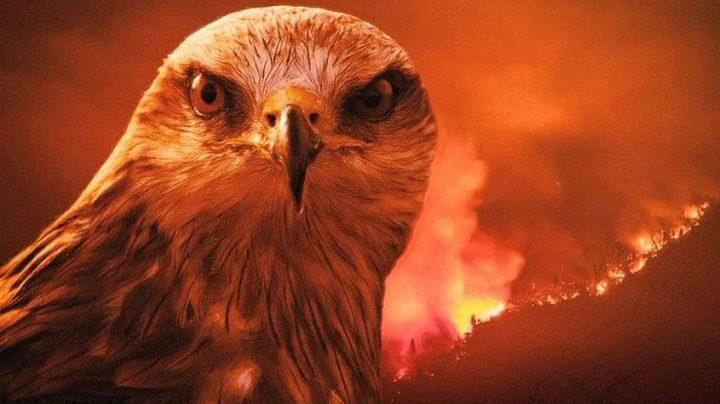 طائر الحدأة.. نذير الشؤم الذي أشعل نيران أستراليا ليصطاد فرائسه !
