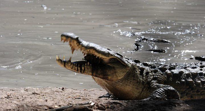 تمساح مشوي في السعودية يثير جدلاً