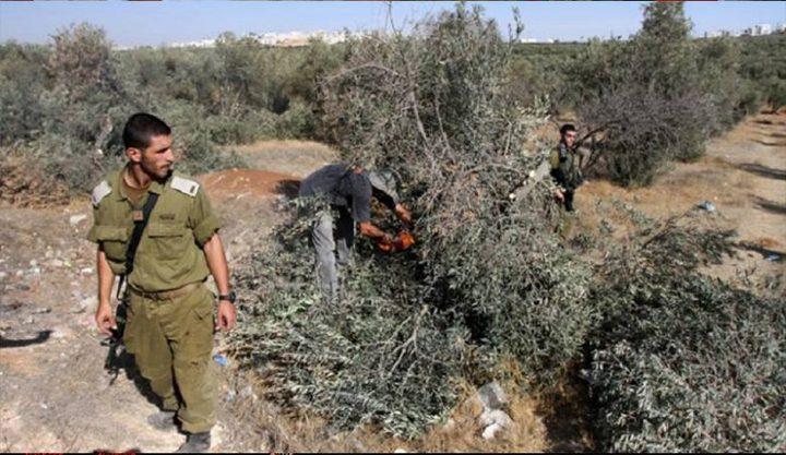 سلفيت: مسوطنون يقطعون 15 شجرة زيتون مثمرة