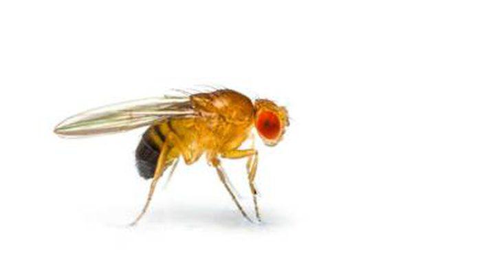 علماء ينشئون أدق خارطة لدماغ ذبابة