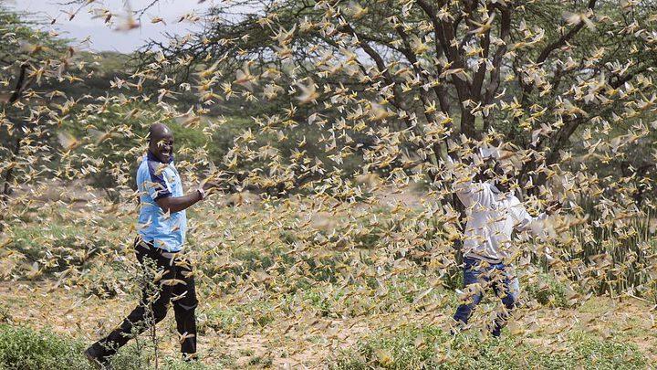 الجراد الصحراوي يغزو كينيا