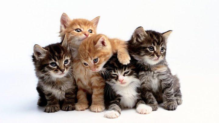 إمرأة روسية تقع في مأزق محرج بسبب 130 قطة