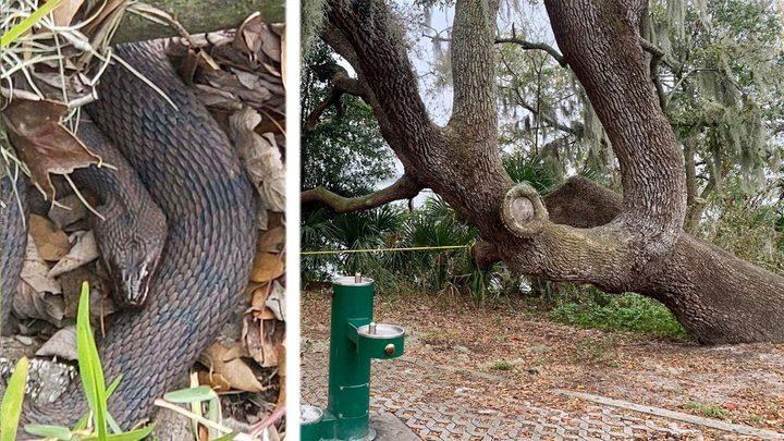 فلوريدا.. ثعابين مائية تغلق بحيرة للإحتفال بعيد الحب !
